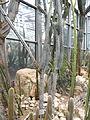 Browningia riosaniensis - Palmengarten Frankfurt - DSC01727.JPG