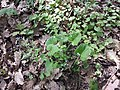 Brunnera macrophylla sl2.jpg