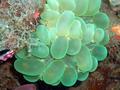 Bubble Coral (14 cm).png