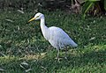 Bubulcus ibis R01.jpg