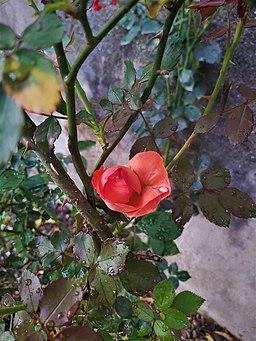 Bud of pink rose 164308