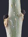 Buds of Fraxinus excelsior 01.jpg