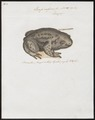 Bufo vulgaris - 1700-1880 - Print - Iconographia Zoologica - Special Collections University of Amsterdam - UBA01 IZ11500139.tif