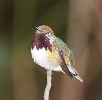 Bumblebee hummingbird - Image: Bumbelbee Hummingbird