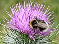 Bumble bee on a thistle near Hadrian's Wall - geograph.org.uk - 1459995.jpg