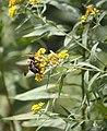 Bumble bee on flower (3869553618).jpg