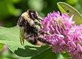 Bumblebees of Arkhangelsk and Novgorod Regions 05.jpg