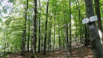 Spessart - Beech forest on the Burgberg, Biebergemünd, Nordspessart