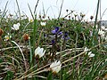 Burren Flora 32 Milkwort and Mountain Avens (3586411114).jpg