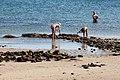 Buscando cunchas ou ameixas na praia de Portugalete. O Carril. Vilagarcía de Arousa. Galicia-56.jpg