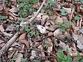 Buschwindröschen im Wald 04.JPG