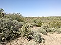 Butcher Jones Trail - Mt. Pinter Loop Trail, Saguaro Lake - panoramio (166).jpg