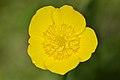 Buttercup (Ranunculus sp.) - Guelph, Ontario 01.jpg