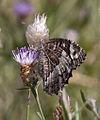 Butterfly 1 (3822761754).jpg