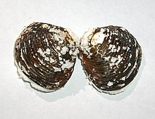 A small clam shell, dark brown on the outside, with many small eruptions of white decay all over the surface of the valves