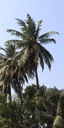economic importance of coconut tree
