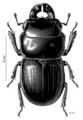 COLE Lucanidae Geodorcus sororum.png