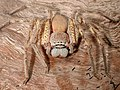CSIRO ScienceImage 1554 A Huntsman Spider.jpg