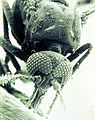 CSIRO ScienceImage 1791 SEM of a biting midge Culicoides brevitarsis.jpg