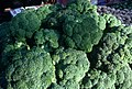 CSIRO ScienceImage 2594 Broccoli.jpg