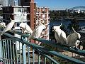 Cacatua galerita -balcony -Sydney -Australia-8a.jpg