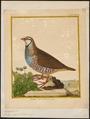 Caccabis rufa - 1700-1880 - Print - Iconographia Zoologica - Special Collections University of Amsterdam - UBA01 IZ17100291.tif