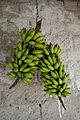 Cachos de bananas verdes (11783692765).jpg