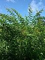 Cajanus cajan (Fabaceae) 03.jpg