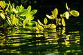 Caleta Tortuga Negra mangrove scenes - Isla Santa Cruz - (16678810152).jpg