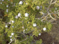 California-Juniper (4557866203).png