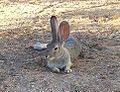 California High Desert Cottontail Resting.jpg