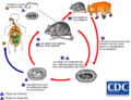 Calodium hepaticum lifecycle - french.png