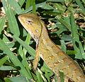 Calotes versicolour. Agamid Lizard - Flickr - gailhampshire.jpg