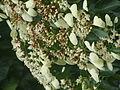 Calycophyllum candidissimum.JPG