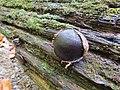 Camarops petersii 54602191.jpg
