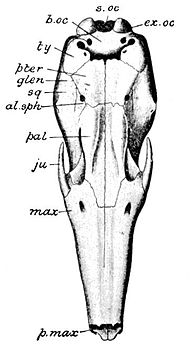 Cambridge Natural History Mammalia Fig 093.jpg