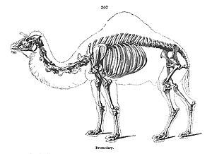 Dromedary - Skeleton