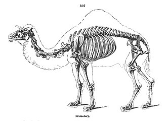 Richard Owen - Owen's illustration of a camel's skeleton