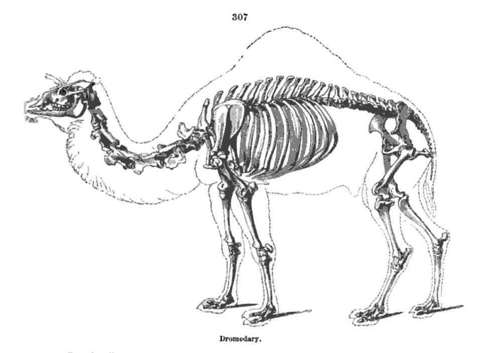 Camel Skeleton - Richard Owen - On the Anatomy of Vertebrates (1866)