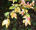 Camellia lutchuensis in Auckland Botanic Gardens 02.jpg