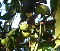 Camellia sinensis fruits.jpg
