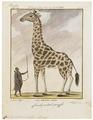 Camelopardalis giraffa - 1700-1880 - Print - Iconographia Zoologica - Special Collections University of Amsterdam - UBA01 IZ21600151.tif