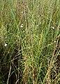 Campanula aparinoides kz02.jpg