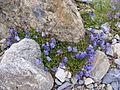 Campanula cochleariifolia DSCF1556.JPG