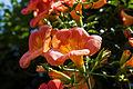 Campsis grandiflora 1.jpg