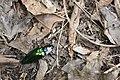 Campsosternus mirabilis (35543907351).jpg