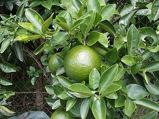 Cam sành cultivar of citrus fruit