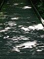 Canebrake Rattlesnake (8740691427).jpg