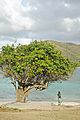 Caneel Bay Lone Tree at Hawksnest Bay.jpg