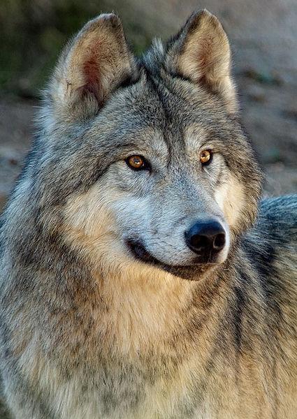 Loup arctique (Amarok en inuit)